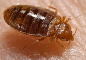 Punaise de lit, Bed-bug, Cimex lectularius