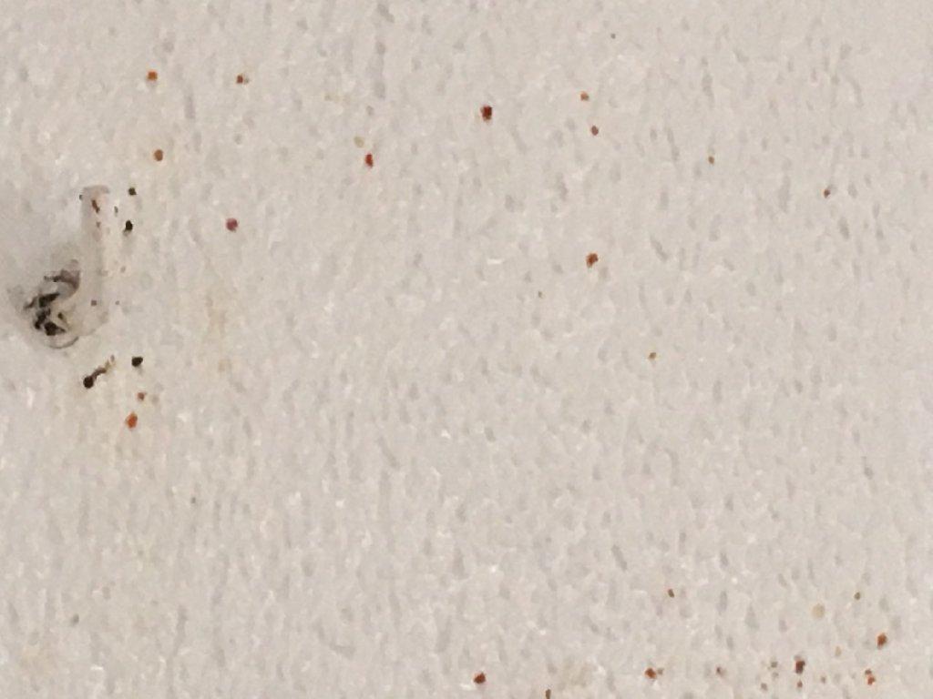 punaise de lit mur